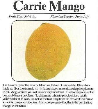 Mango Tree - Carrie